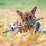 Pembroke welsh corgi puppy and german shepherd dog playing with a stick